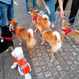 柴犬がいっぱい