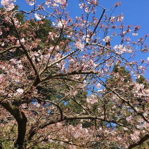 桜と日焼けと猫