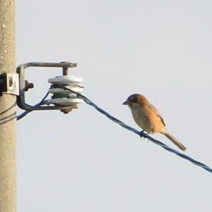 目の前の電線にとまっていたので、モズも撮る。