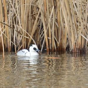 葦をバックに泳ぐ、ミコアイサのオス。