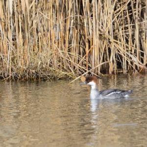 メスもやって来た、葦をバックに泳ぐミコアイサ。