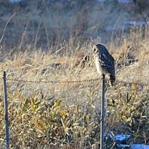 何とか撮れた、フクロウの証拠写真。