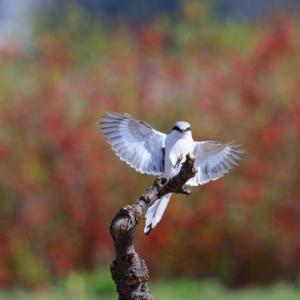翼を広げて、棒に飛びつくオオカラモズ。