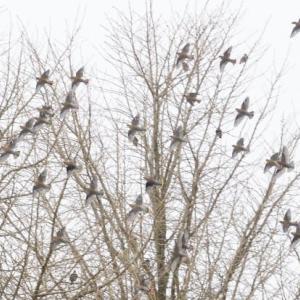 連雀の群れがいると聞き、行ってみた。