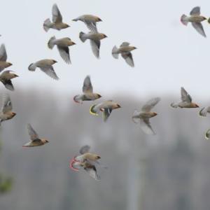 飛び出しが撮れた、ヒレンジャク・キレンジャクの群れ。