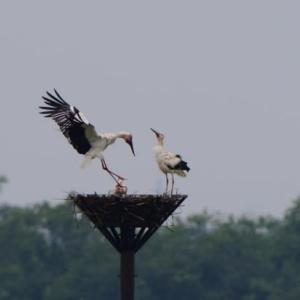 親鳥が2羽、巣に並んだコウノトリ。