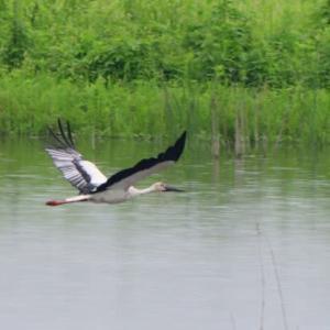 緑に映える池の上を飛ぶ、コウノトリ。