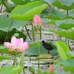 ハスの花と、まっくろくろすけ、バンの幼鳥。