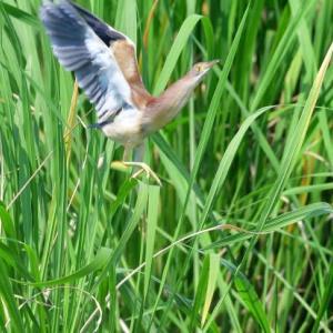 葦の草むらから飛び出す、ヨシゴイ。