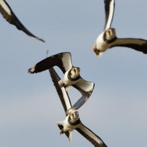 こちらに向かって飛ぶ、タゲリの群れ。