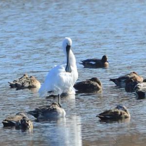 湖では、珍しくヘラサギに出会った。