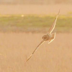斜めの陽光を受けて、翼が光っていたコミミズク。