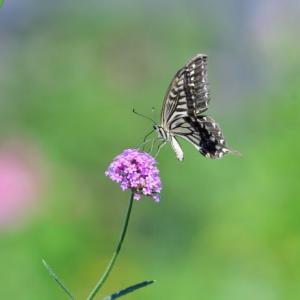 これは、きれいに撮れた、アゲハチョウ。