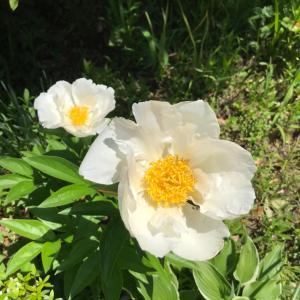 薬師の泉のお花