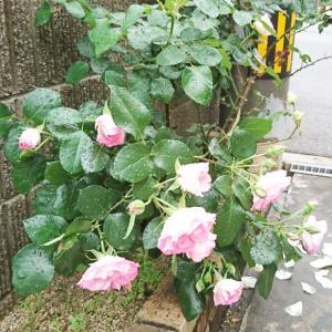 ++薔薇と&久しぶりのホットケーキ*++
