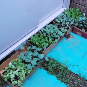秋冬作物の植え付け