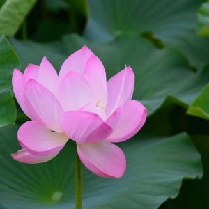 古代蓮の開花