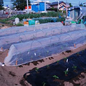 今日の農作業 夏野菜の植付