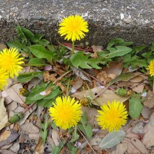 春の黄色の花々