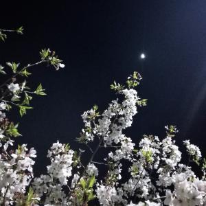 桜2020、ライトアップされた動鳴気峡の夜桜を見に・・・
