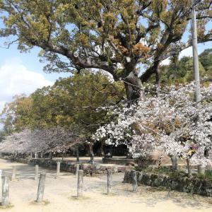 桜2020。闘鶏神社も行ってみた。