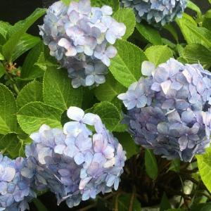 紫陽花とシーボルト