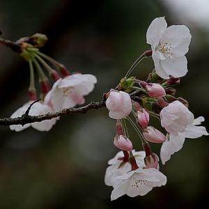 松山市の染井吉野桜が開花、昨年より3日遅く開花した