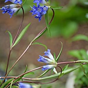 リンドウみたいな花は ゲンチアナ
