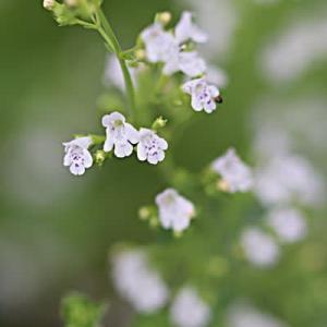極小花 カラミンサ