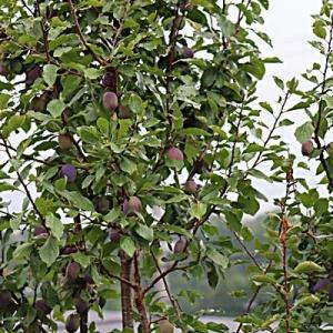 プルーン収穫時期が・・・・