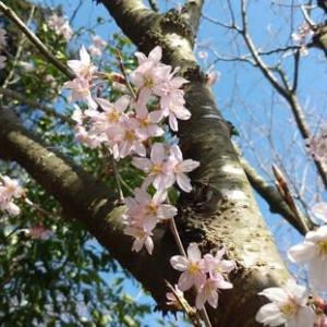 3月24日、桜が咲いていた。