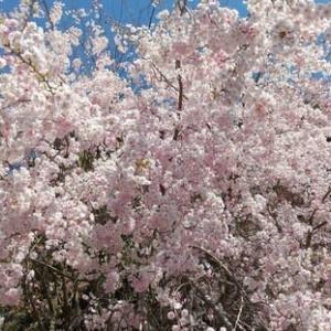 枝垂れ桜!