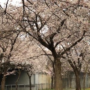 桜満開だけど。