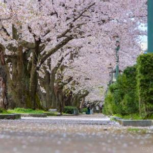 意外に桜が少ない桜坂