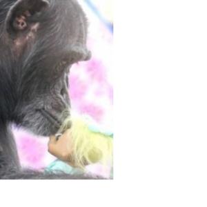 トロール人形にキスするチンパンジーの悲しい過去