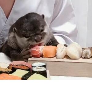 アニマルハウスユーキ②カワウソのためにお寿司屋さん開店