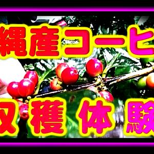 沖縄産コーヒー収穫体験のお知らせ