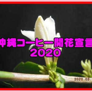 コーヒーの開花が始まりました(沖縄コーヒー 開花宣言 2020)