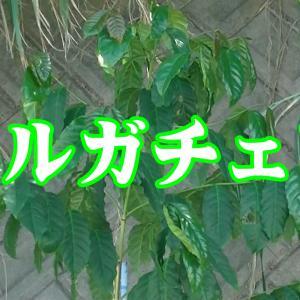 イリガチェフコーヒーを畑に植えました