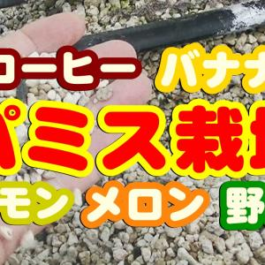 沖縄コーヒー 土を使わず作れる!パミスサンド栽培