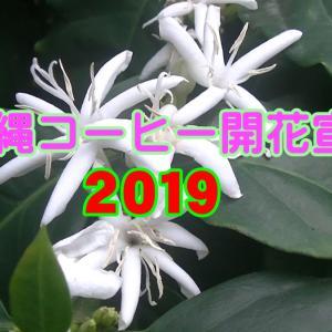 沖縄コーヒー 開花宣言 2019