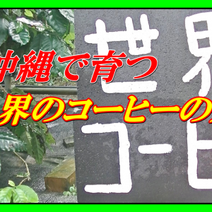 沖縄で育つ世界のコーヒーの木