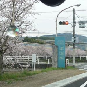 橋本の桜、早く見ないと