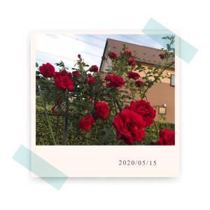 うちの薔薇2020