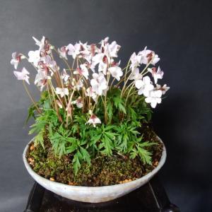 叡山菫(すみれ)の花