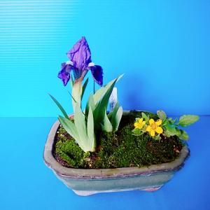 台湾アヤメの開花