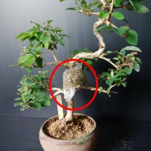 ウグイスカグラの取り木