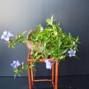 リンドウの開花