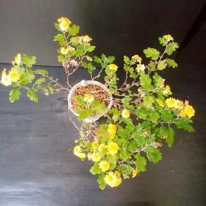 まだ咲いている菊2種!