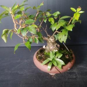 盆栽 ボコボコの 整理